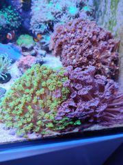 Meerwasser Korallenableger DNZ