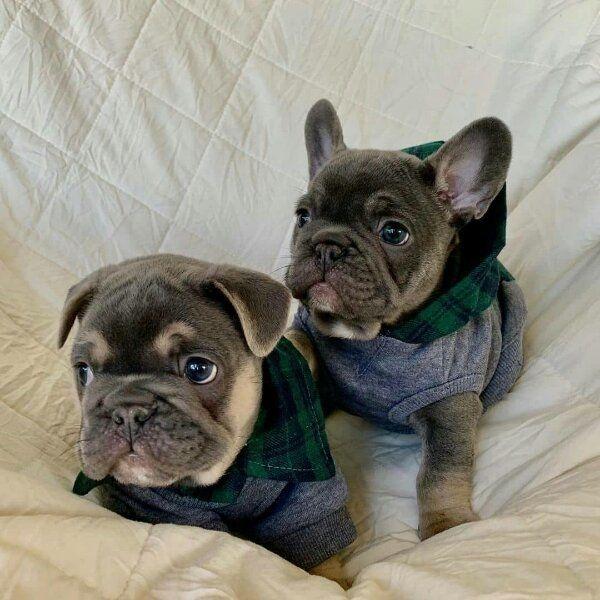 Franzosische Bulldogge Welpen Gfccx In Denklingen Hunde Kaufen Und Verkaufen Uber Private Kleinanzeigen