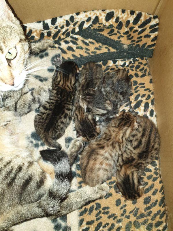 Bengal kitten kater katze