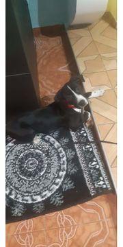 Hund Pitbull Amstaff