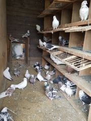 Tauben In Euskirchen Tiermarkt Tiere Kaufen Quokade
