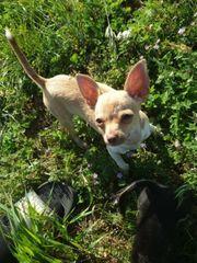 Zuckersüße Chihuahua Hündin 6 Monate