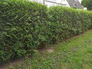 Lebensbaum Pflanzen Sichtschutz Garten