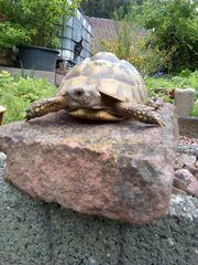 Junge Griechische Landschildkröten THB NZ
