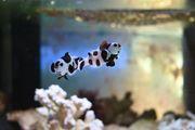 Rarität Clownfisch Amphiprion ocellaris Black