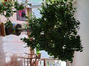Wunderschöne Birkenfeige Ficus Benjamini zu