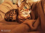 2järige Bengalkatze sucht neues Zuhause