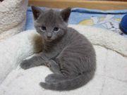 Russische blaue Kätzchen