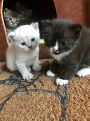 Bkh - Mix Kitten