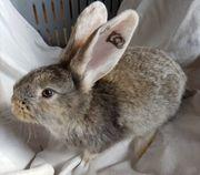 Deutsche Riesen - Weißohr - Kaninchen - Hasen