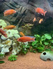 Malawi Fire Fish Seifert Line