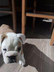 Englische Bulldogge In Frankfurt Tiermarkt Tiere Kaufen Quoka De
