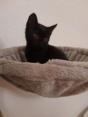5 EKH Kätzchen auszugs bereit