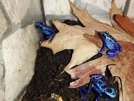 Reptilien, Terraristik - Blauer Baumsteiger lat Dendrobates azureus