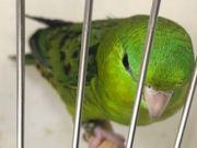 Katharinasittich Jungvögel in schönem grün