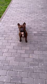 Deckrüde Französiche Bulldogge