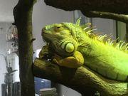 Wunderschönes grünes Leguanmännchen abzugeben