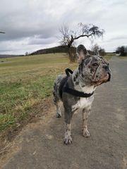 Deckrüde Französische Bulldogge Blue Merle