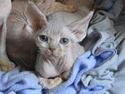 wunderschöne kitten Jungen Devon Rex