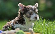 Biro Yorkshire Terrier Welpe Hündin