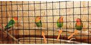 Agaporniden - Unzertrennliche - Pfirsichköpfchen wildfarbig