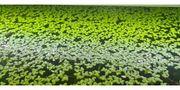 Wasserlinsen Schwimmpflanzen