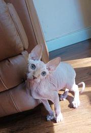 Sphynx Kater Kitten