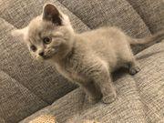 BKH Blue Kitten abgabebereit