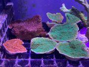 Meerwasser Korallen Monti-Platten