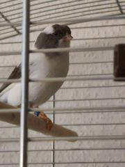 Kanarienvögel Gloster vorläufig reserviert
