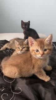 Golden Tabby BKH Kitten