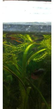 Endler Guppis Anfängerfische