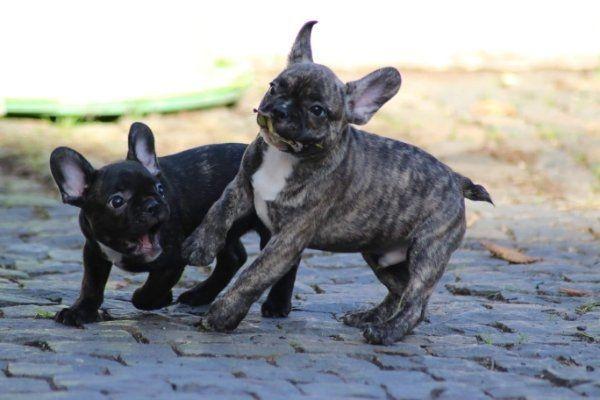 Bezaubernde Französische Bulldoggen