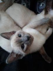 ab sofort siam kitten- noch