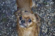 Cipi anhänglicher Chihuahua Spaniel Mix