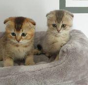 BKH SF Kitten