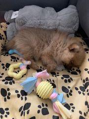 Pomeranian Spitz Welpe zu verkaufen