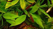 11 Hyphessobrycon socolofs - Kirschflecksalmler