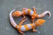 Gesunde Leopardgeckos aus Hobbyzucht