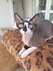 Sphynx Katze 2 Jahre