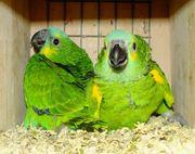 Suche Blaustirnamazonen Paar Männchen und