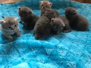 BKH British Kurzhaar Scottish Fold