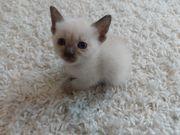 Zuckersüße Siam Thai Kitten