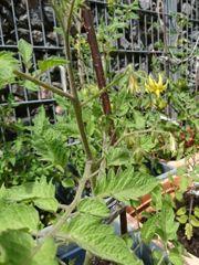 Blühende Tomatenpflanzen im Topf