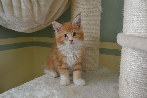 Maine Coon Kitten in red