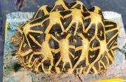 1 0 Sternschildkröte adult SriLanka