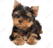 Suche einen yorkshire terrier