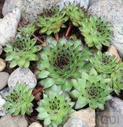 Dachwurz Hauswurz Sempervivum Steinrose Steingartenpflanze