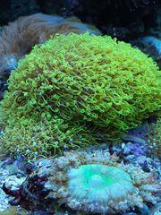 Anfänger Korallen Meerwasser