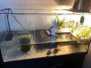 Gewöhnliche Moschusschildkröten Wasserschildkröten
